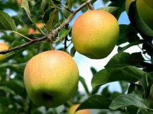 agricoltura biologica melo